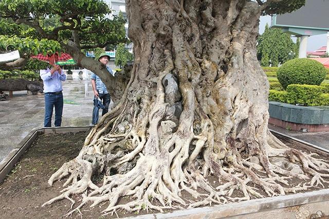 Mua cây sanh cổ quá cao, cắt làm đôi tạo thành 2 cây bán gần 20 tỷ đồng - 8