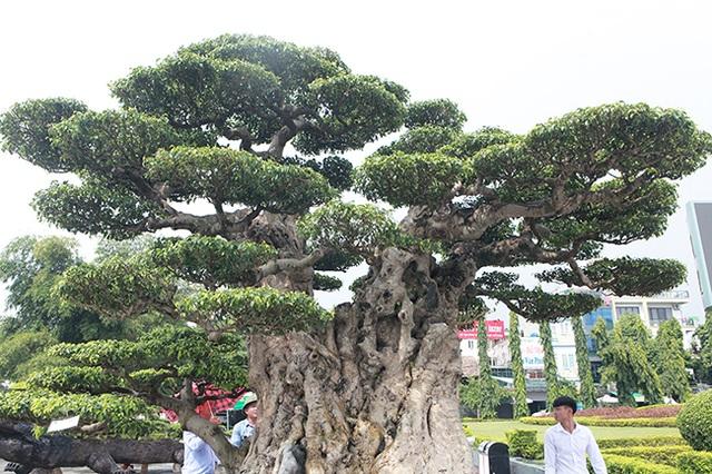 Mua cây sanh cổ quá cao, cắt làm đôi tạo thành 2 cây bán gần 20 tỷ đồng - 9