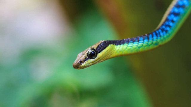 Loài rắn cây độc đáo ở Úc có thể… nhảy từ cây này sang cây khác - 1