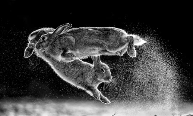 Cuộc chiến của thỏ đạt giải cao nhất tại Cuộc thi nhiếp ảnh thế giới - 2
