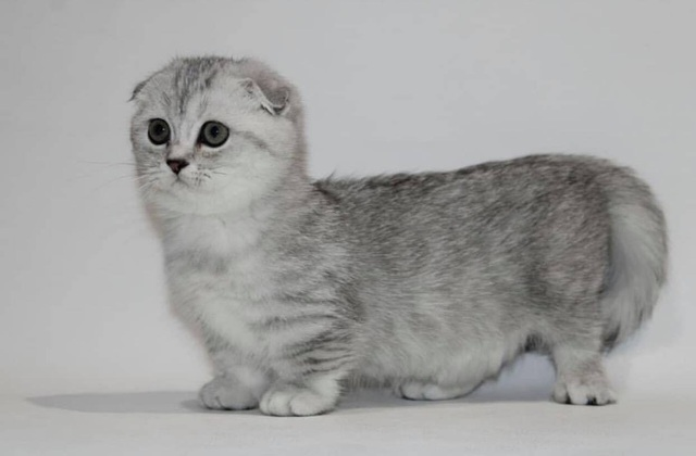 Mèo lùn chân ngắn một mẩu giá trên 55 triệu đồng, dân chơi vẫn mê mẩn - 3