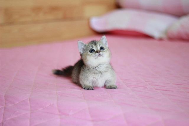 Mèo lùn chân ngắn một mẩu giá trên 55 triệu đồng, dân chơi vẫn mê mẩn - 2