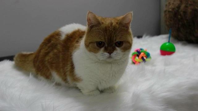 Mèo lùn chân ngắn một mẩu giá trên 55 triệu đồng, dân chơi vẫn mê mẩn - 4