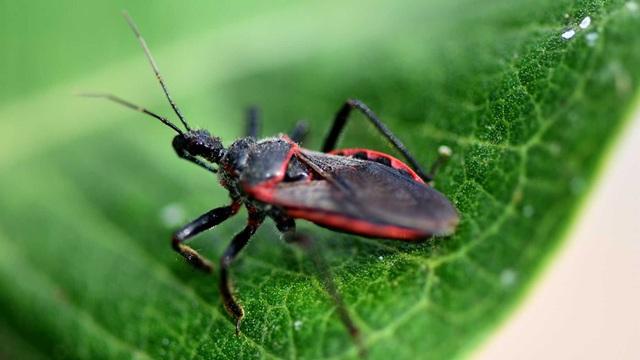 Những điều cần biết bọ xít hút máu - 1