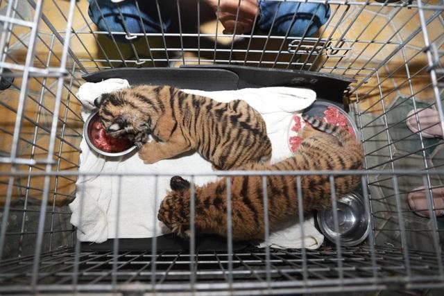 Giải cứu 2 cá thể hổ con được đựng trong túi nhựa - 1