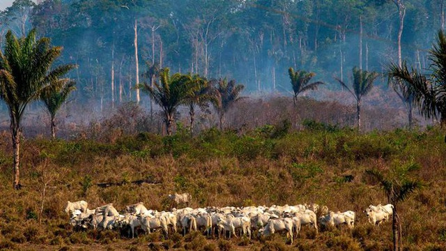 Trả giá quá đắt vì phá rừng để nuôi bò bán cho Trung Quốc - 1