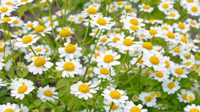 """Cúc ngải vàng: Loài hoa """"thần thoại"""" cho người đau nửa đầu từ Hy Lạp cổ đại - 1"""