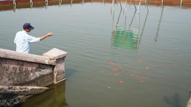 Đàn cá Koi Nhật chuyển từ sông Tô Lịch sang Hồ Tây giờ ra sao? - 1