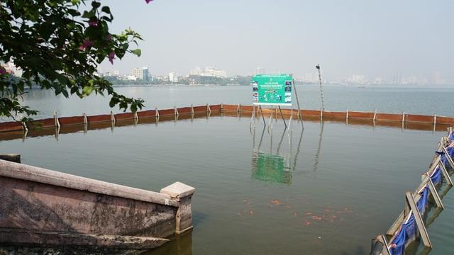 Đàn cá Koi Nhật chuyển từ sông Tô Lịch sang Hồ Tây giờ ra sao? - 2