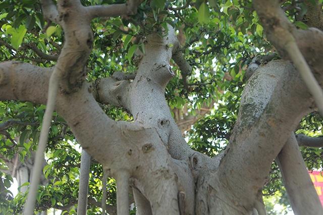 """Chiêm ngưỡng """"chùa Đồng"""" dưới bóng cây sanh tiền tỷ - 10"""