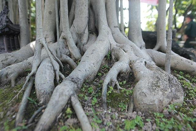 """Chiêm ngưỡng """"chùa Đồng"""" dưới bóng cây sanh tiền tỷ - 11"""