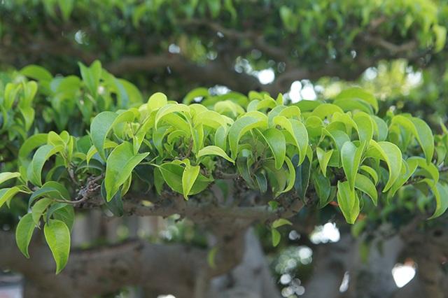 """Chiêm ngưỡng """"chùa Đồng"""" dưới bóng cây sanh tiền tỷ - 12"""