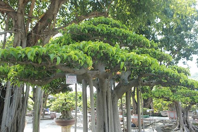 """Chiêm ngưỡng """"chùa Đồng"""" dưới bóng cây sanh tiền tỷ - 8"""