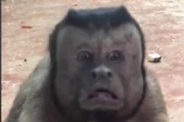 """Con khỉ có gương mặt giống người """"cô đơn"""" trong tình yêu - 1"""