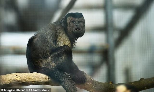 """Con khỉ có gương mặt giống người """"cô đơn"""" trong tình yêu - 2"""