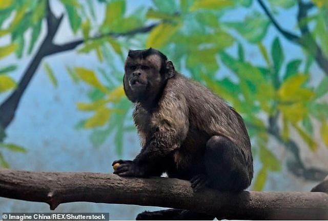 """Con khỉ có gương mặt giống người """"cô đơn"""" trong tình yêu - 3"""
