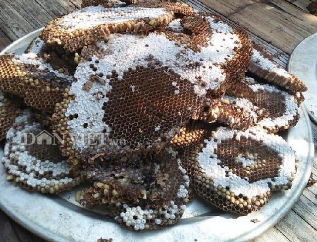 Tay săn đặc sản nhộng ong rừng cừ khôi: Nghề nguy hiểm hái ra tiền - 3