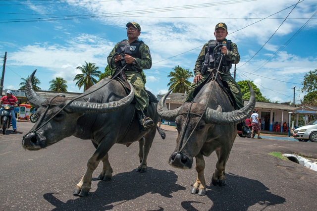 Cảnh sát cưỡi... trâu nước nặng 450 kg đi tuần tra - 1