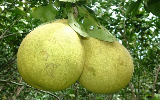 Đại gia Hà Thành chơi trội, bao trọn vườn bưởi cổ 2.000 quả ăn Tết - 3