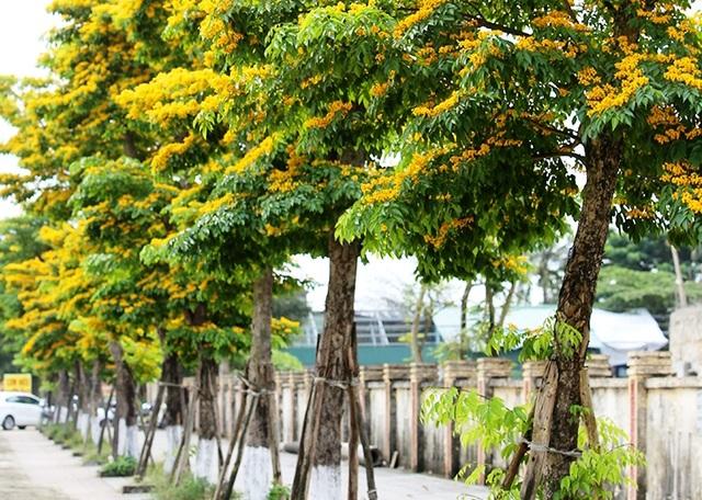 Chi gần 3 tỉ đồng thay thế cây xanh ở trung tâm thành phố Đông Hà - 5