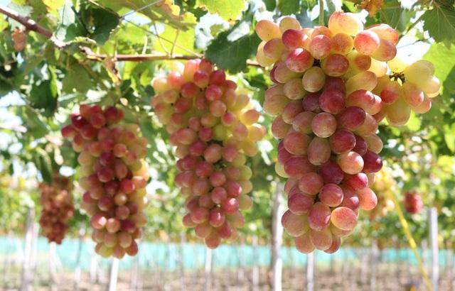 Nho ba màu mang thu nhập khủng cho nông dân Ninh Thuận - 1