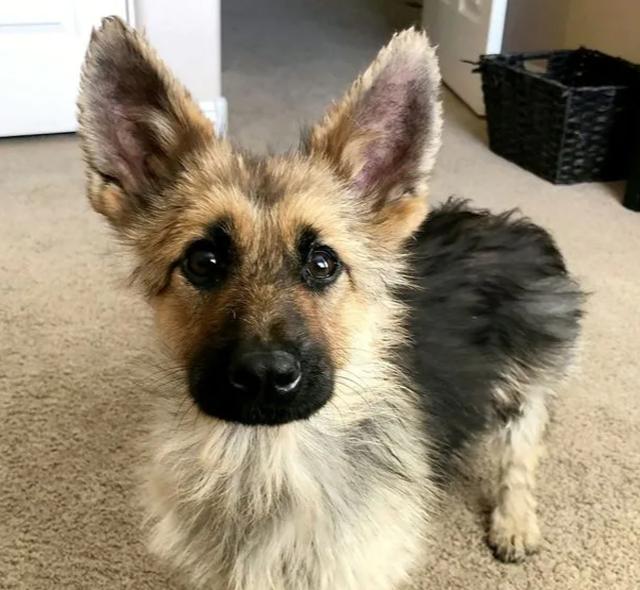 Chó mang gien độc đáo cả đời trông như chú cún con - 1