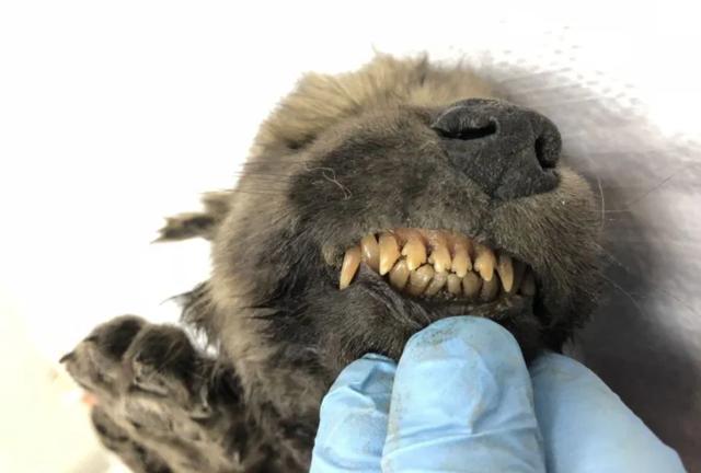 """""""Chú chó Kỷ Băng hà"""" được tìm thấy sau 18.000 năm vùi trong băng vĩnh cửu - 3"""