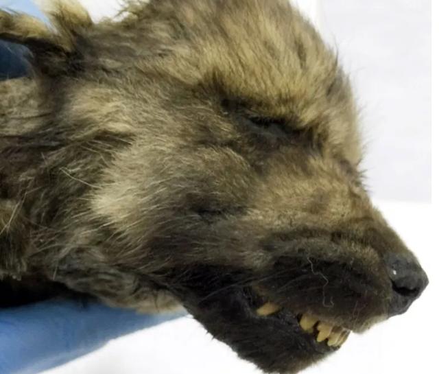 """""""Chú chó Kỷ Băng hà"""" được tìm thấy sau 18.000 năm vùi trong băng vĩnh cửu - 4"""