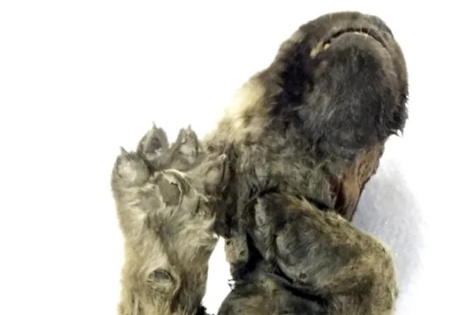 """""""Chú chó Kỷ Băng hà"""" được tìm thấy sau 18.000 năm vùi trong băng vĩnh cửu - 5"""