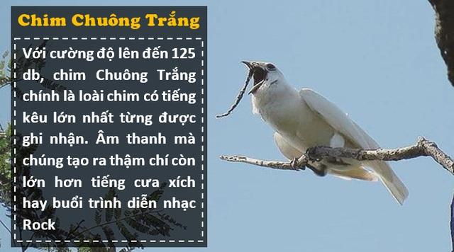 """Loài chim """"ồn ào"""" nhất thế giới: Tiếng kêu lớn hơn nhạc Rock, gây hại cho tai người - 4"""