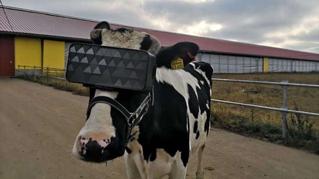 Nga thử nghiệm kính thực tế ảo cho… bò - 1