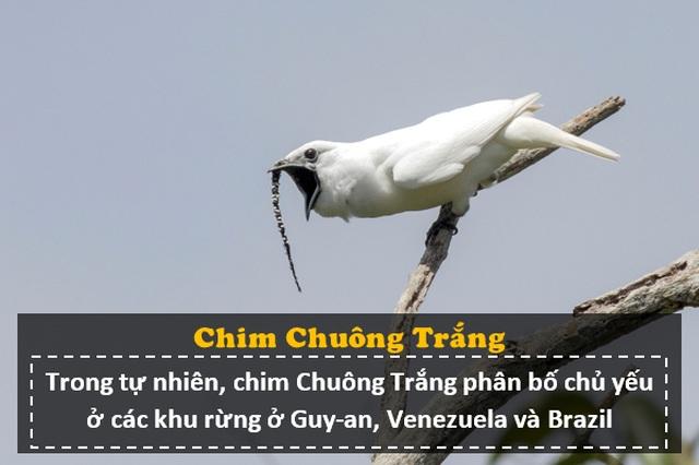 """Loài chim """"ồn ào"""" nhất thế giới: Tiếng kêu lớn hơn nhạc Rock, gây hại cho tai người - 1"""