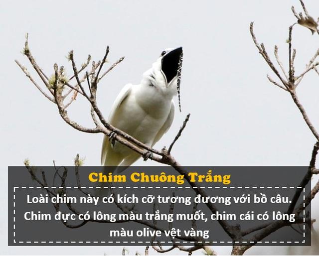 """Loài chim """"ồn ào"""" nhất thế giới: Tiếng kêu lớn hơn nhạc Rock, gây hại cho tai người - 2"""