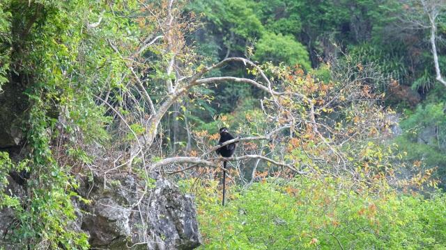 Bảo vệ loài voọc đen gáy trắng quý hiếm trên 6 khối núi đá vôi ở Quảng Bình - 7
