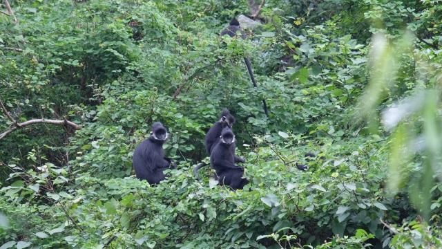 Bảo vệ loài voọc đen gáy trắng quý hiếm trên 6 khối núi đá vôi ở Quảng Bình - 3