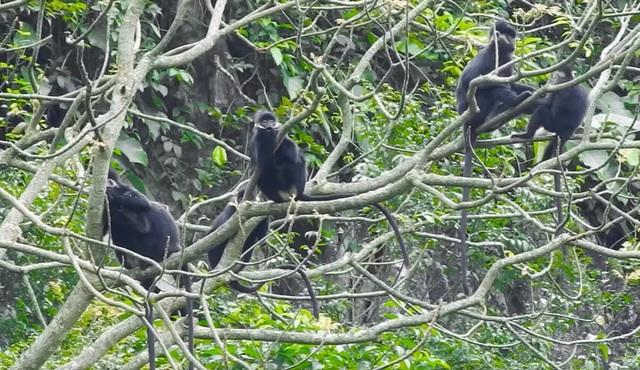 Bảo vệ loài voọc đen gáy trắng quý hiếm trên 6 khối núi đá vôi ở Quảng Bình - 2