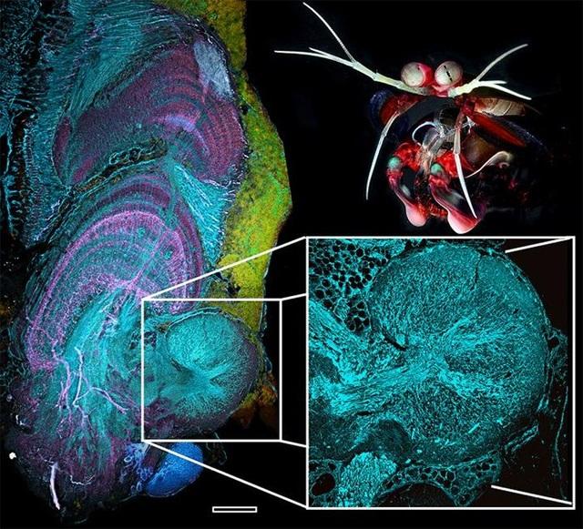 Loài tôm sở hữu thị lực phức tạp nhấttrong mọi loài động vật - 1