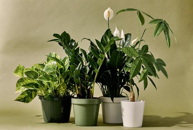 """5 loại cây phong thủy trong nhà vừa """"hút"""" tài lộc, vừa mang đến lợi ích bất ngờ cho sức khỏe - 1"""