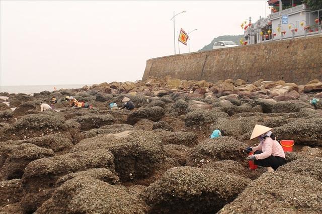 Độc đáo nghề gõ hà biển ở Đồ Sơn - 1