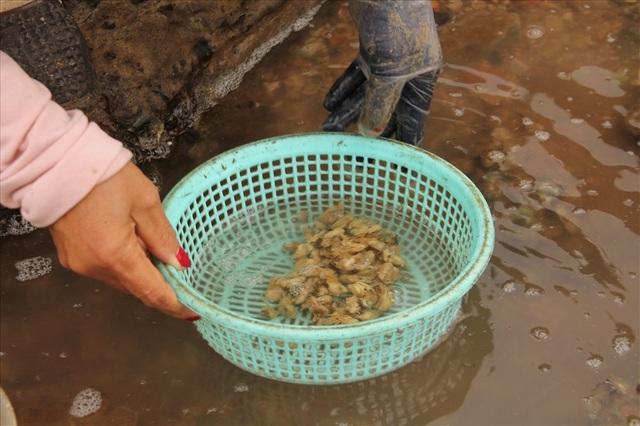 Độc đáo nghề gõ hà biển ở Đồ Sơn - 10