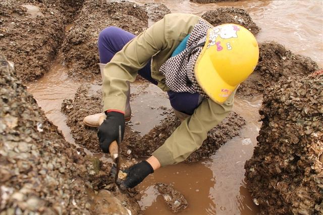 Độc đáo nghề gõ hà biển ở Đồ Sơn - 7