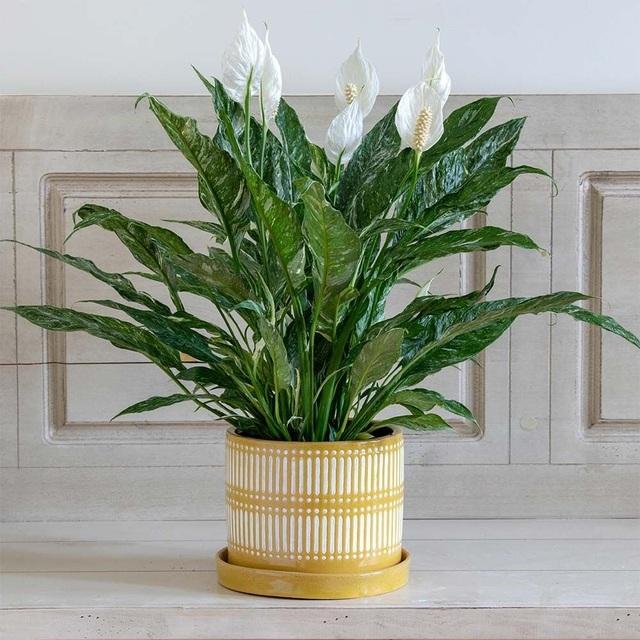 """5 loại cây phong thủy trong nhà vừa """"hút"""" tài lộc, vừa mang đến lợi ích bất ngờ cho sức khỏe - 5"""