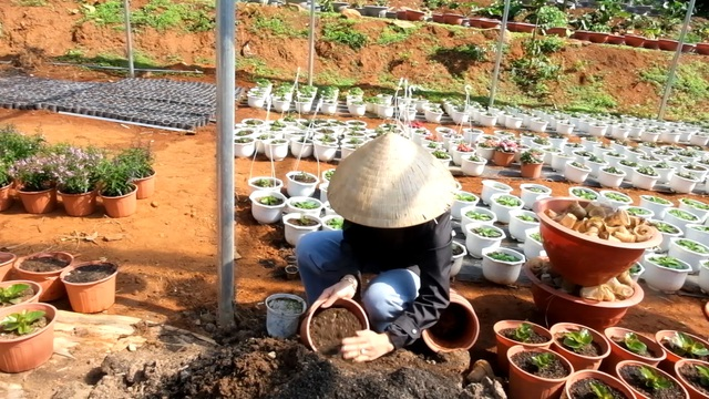 Trồng hơn 8.000 chậu hoa, đôi vợ chồng trẻ kỳ vọng kiếm trăm triệu đồng dịp Tết  - 6