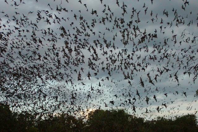 Ngợp mắt trước khoảnh khắc 20 triệu con dơi phủ kín đen kịt cả bầu trời - 3