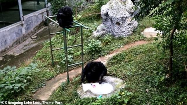 Tinh tinh biết dùng xà phòng giặt quần áo cho nhân viên vườn thú - 2
