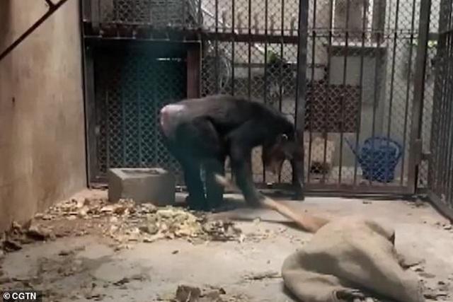 Tinh tinh biết dùng xà phòng giặt quần áo cho nhân viên vườn thú - 4