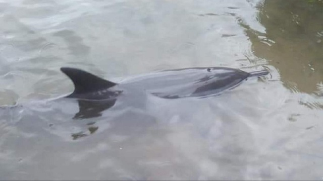 Người dân cứu con cá heo bị dạt vào bờ biển - 1