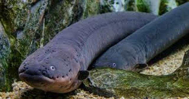 Lươn phóng nguồn điện cực mạnh để thắp sáng cây - 2