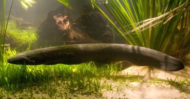 Lươn phóng nguồn điện cực mạnh để thắp sáng cây - 3