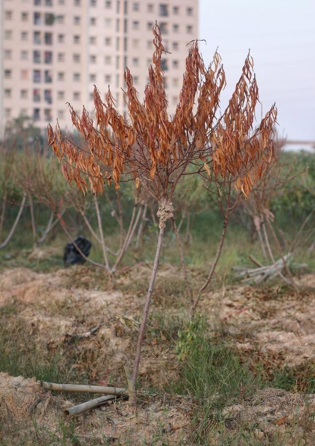 """Người dân bất lực nhìn hàng nghìn gốc đào """"chết khô"""" trước vụ Tết nguyên đán - 2"""
